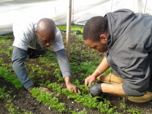 Richard and Ken thinning carrots